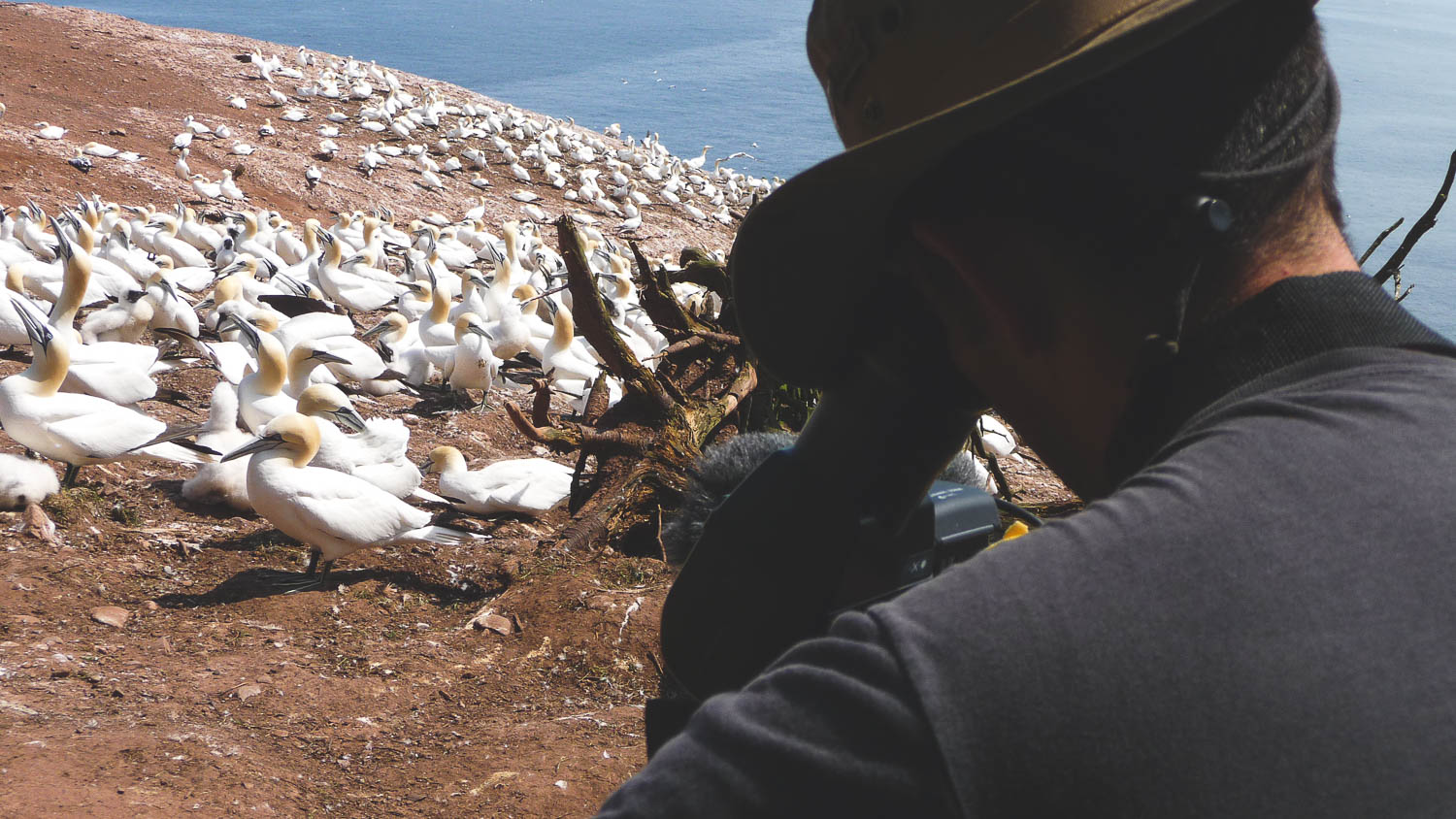 During the production of the TV Show the Great Trails Season 1, the director of photography and director Richard Duquette filming bird on the Bonaventure Island in the Gaspesian Peninsula, Quebec, Canada.